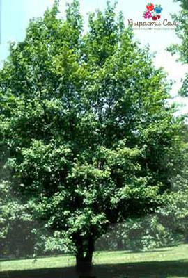 Саженцы Клена (гостролистого) h 1.5-2м