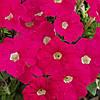 Семена Петуния миллифлора Пикобелла F1 Розовая  200 семян Syngenta