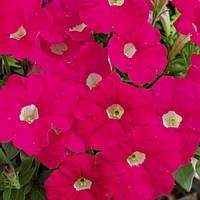 Семена Петуния миллифлора Пикобелла F1 Розовая  200 семян Syngenta, фото 1