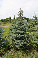 "Ель Колючая ""Picea Pungengs"""