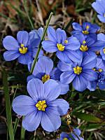 """Сисюринхиум узколистный """" Блю Эрд Гласс""""  \ Sisyrinchium agustifolium 'Blue-Eyed Grass"""" ( саженец р9)"""