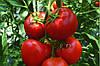 Семена томата Кабинет F1 \ Cabinet F1 Syngenta 500 семян