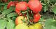 Семена томата Кабинет F1 \ Cabinet F1 Syngenta 500 семян, фото 2