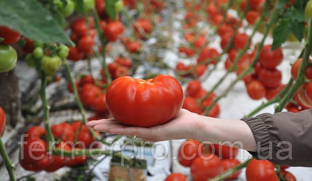 Семена томата Панекра F1 \ Panekra F1 500 семян Syngenta