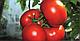 Семена томата Панекра F1 \ Panekra F1 500 семян Syngenta, фото 3
