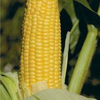 Семена кукурузы  GH 2042 F1 100.000 семян Syngenta