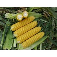 Семена кукурузы Старшайн F1 \ Starshine F1 50.000 семян Syngenta