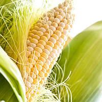 Семена кукурузы  Шайнрок F1 \ Shinerock F1  100000 семян Syngenta