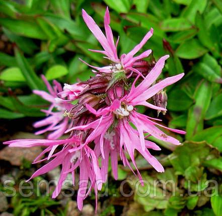 Лихнис кукушкин цвет \ Lýchnis flos-cúculi ( саженец), фото 2