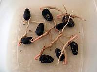 Проросшие семена азимины