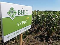 Подсолнечник под Гранстар АУРИС. Урожайные масличные семена Аурис. Экстра, фото 1