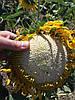 Соняшник АУРІС під Гранстар 50 грам / га. Масляничний, Врожайний, Стійкий к засусі і вовчку A - F, ВНІС
