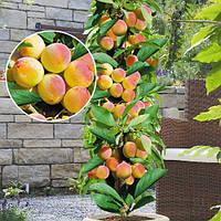 Саженцы абрикоса колоновидного ПРИНЦ МАРТ (двухлетний) позднего срока созревания