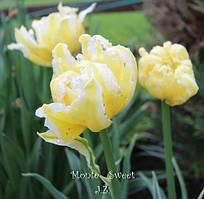 Луковичные растения Тюльпан Monte Sweet  (махров)