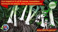 Лук-порей: посев, пикировка, высадка на грядку, выращивание и уход.