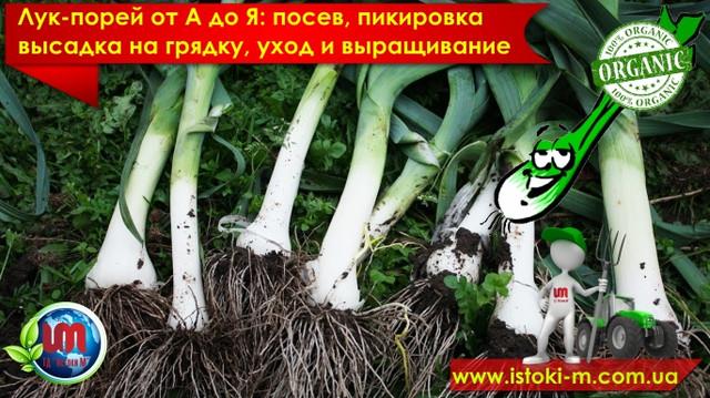лук-порей от а доя_все о выращивании лука-порей