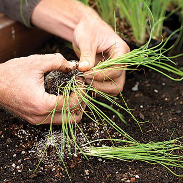 как вырастить рассаду лука-порея