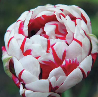 Луковичные растения Тюльпан Carnaval de Nice (махров)