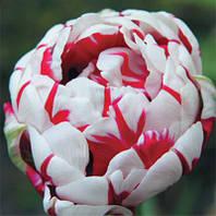 Луковичные растения Тюльпан Carnaval de Nice (махров), фото 1