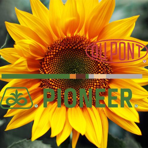 Гибрид подсолнечника P64LE25 DuPont Pioneer