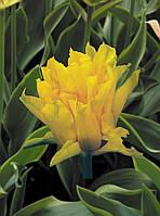 Луковичные растения Тюльпан Yellow Spider (лилиевидний), фото 1
