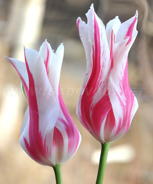 Луковичные растения Тюльпан Marilyn (лилиевидний)