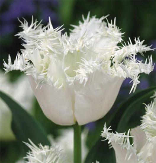 Луковичные растения Тюльпан Swan Wings  (бахр)