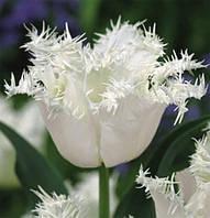 Луковичные растения Тюльпан Swan Wings  (бахр), фото 1