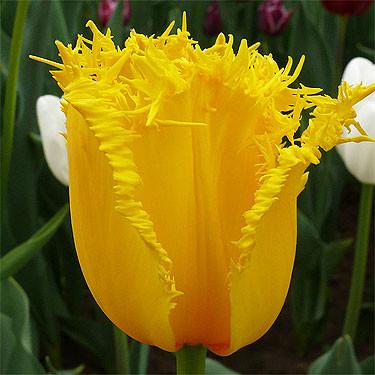 Луковичные растения Тюльпан Hamilton (бахр)