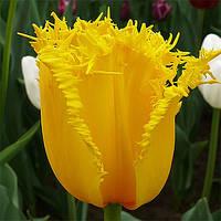 Луковичные растения Тюльпан Hamilton (бахр), фото 1
