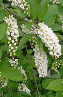 Черёмуха виргинская (Prunus virginiana) / H 3.0-3.5 / ОС 17-20