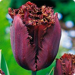 Луковичные растения Тюльпан Black Jawel  (бахр)