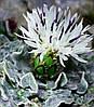 Василек Пиндский \ Centaurea pindicola ( саженец)