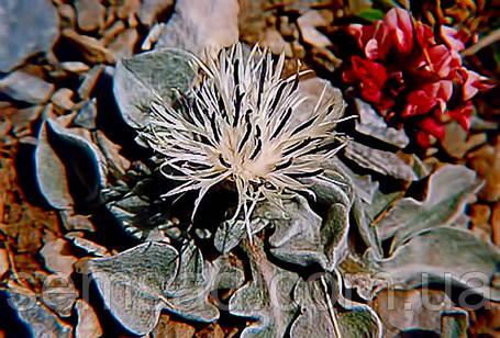 Василек Пиндский \ Centaurea pindicola ( саженец) , фото 2