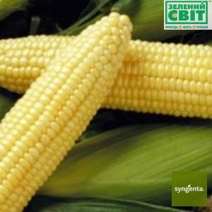 Семена кукурузы Спирит F1, (Syngenta),  на вес кг — ранняя (67 дней), сладкая (147,8 гр за 1000 сем), фото 2