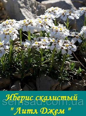 """Иберис скалистый вечнозеленый """" Литл Джем"""" ( саженец), фото 2"""