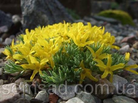 Виталиана примулоцветковая \ Vitaliana primuliflora ( саженец) , фото 2