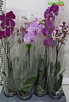 Орхидея фаленопсис Акция РОЗН 170/250