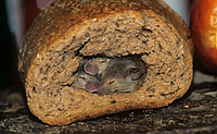 Как избавится от крыс и мышей на поле и приусадебном участке?