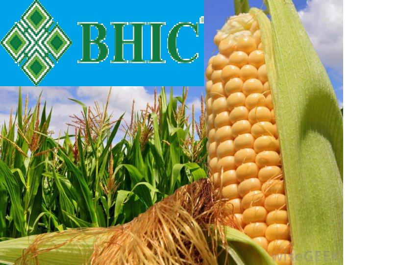 Семена кукурузы Гран 310 Среднеспелый ФАО 250 (ВНИИС)