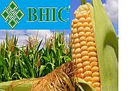 Семена кукурузы Гран 6 Среднеранний ФАО 300 (ВНИИС)