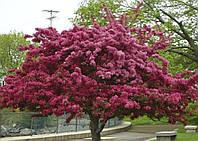 Яблоня Недзвецкого,1,5-1,8 метра(открытый корень)
