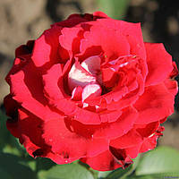 Роза чайно-гибридная Динамит  саженец; Под заказ, предоплата