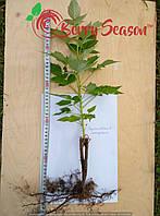 Саженцы рассада ремонтантной малины Брусиловский стандарт, фото 1