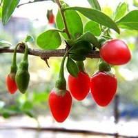 Экстракт ягод годжи