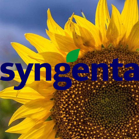 Гибрид подсолнечника SY CADIX CRU Syngenta, фото 2