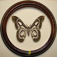 Сувенир - Бабочка в рамке Epiphora mythimnia f. Оригинальный и неповторимый подарок!, фото 1