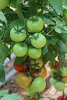 Семена томата Луанова F1 \ Luanova F1 500 семян Enza Zaden