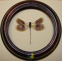 Сувенир - Стрекоза в рамке Calopteryx splendens. Оригинальный и неповторимый подарок!