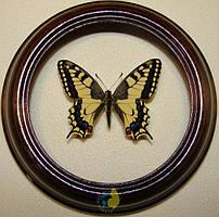 Сувенир - Бабочка в рамке Papilio machaon. Оригинальный и неповторимый подарок!